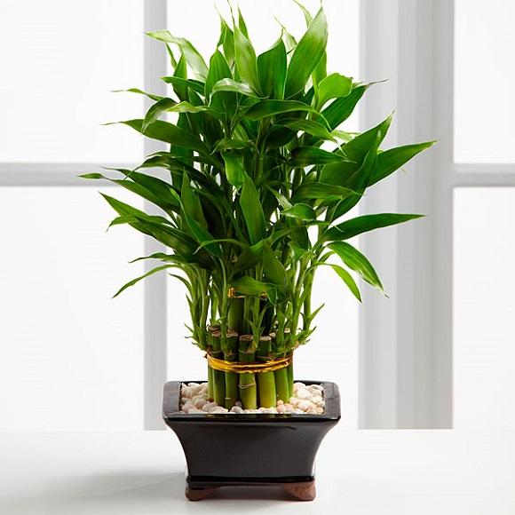 Trúc phú quý là loại cây được trồng phổ biến tượng trưng cho sự may mắn, sức khoẻ, tài vận của gia chủ. Người ta vẫn thường hay dùng chúng làm quà tặng với ý nghĩa gửi gắm những lời chúc bình an, thịnh vượng, như ý trong công việc, cuộc sống.
