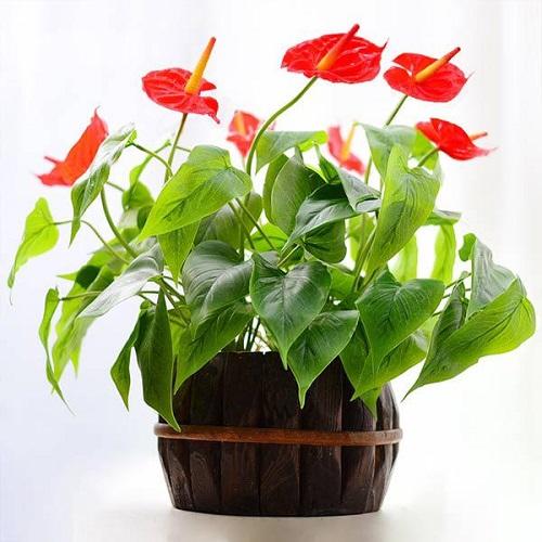 Hồng môn là loại cây phong thủy là biểu tượng của sự bền bỉ, thể hiện sự may mắn, mang đến phú quý cát tường giúp gia chủ thuận lợi trong việc làm ăn.